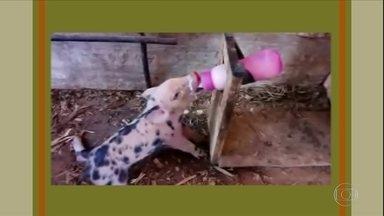 Leitões tomam leite de vaca depois da morte da mãe - O vídeo foi enviado por um telespectador. Veja como enriquecer o leite de vaca para oferecer aos porquinhos.