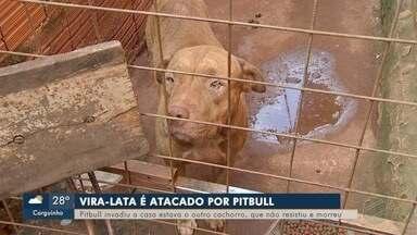 Pit bull ataca e mata cachorro na Vila Pioneira, em Campo Grande - Dono disse que pitbull escapou em um momento de distração.