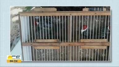 Pássaros são apreendidos em feira livre de Messejana - Segundo a Secretaria da Segurança Pública, as aves foram encontradas depois de denúncia anônima.