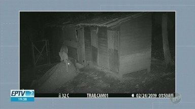 Câmera mostra onça rondar galinheiro em sítio de Valinhos - Animal foi visto pela última vez na sexta-feira (15).