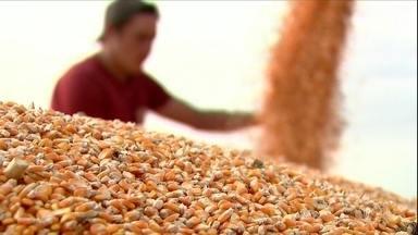 Produção de milho de verão vai ser maior no Paraná - As colheitadeiras avançam pelas fazendas do estado. Setenta por cento das lavouras de milho já foram colhidas. E a safra vai crescer sete por cento esse ano. A previsão é que a produção passe de 3 milhões de toneladas.