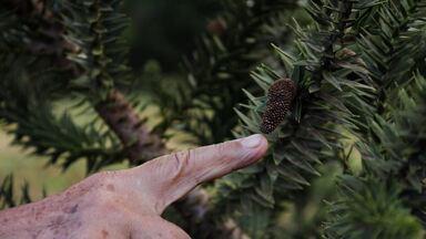 Pesquisador dedica a vida a pesquisar a Araucária, árvore do Pinhão - Palavra é uma das mais lembradas no aniversário de Curitiba