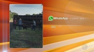 Caminhão carregado com gado tomba em rodovia perto de Jales - Um caminhão carregado com gado tombou nesta quinta-feira (28) em Jales (SP). O motorista do caminhão teve ferimentos leves.Três bois foram sacrificados.
