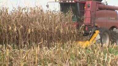 Agricultores do Alto Paranaíba estão otimistas com a colheita de milho - Equipe acompanhou a colheita da safra verão, a primeira do ano em duas propriedades. O resultado e o preço pago pelo cereal agradam os produtores