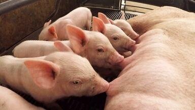 Criadores de suínos estão otimistas com mercado - No berçário da maior granja de suínos de São Paulo, que fica em Itu, os leitões se alimentam de hora em hora. A temperatura do local é controlada para não causar estresse na mãe e nem prejudicar a produtividade de leite.