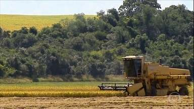Produtores de arroz do RS contabilizam prejuízos após clima ruim - Produtores de arroz do RS contabilizam prejuízos após clima ruim.