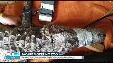 Jacaré capturado no lago morre no Zoológico - O animal morreu depois de passar por cirurgia para retirada de um arame dentro da barriga.