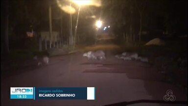 Funcionários flagram capivaras atravessando rua em Cacoal - Biólogo diz que animais estavam em meio a um passeio noturno.