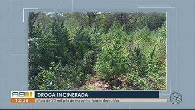 Polícia Federal destrói mais de 20 mil pés de maconha em Serra Talhada - Também foram encontrados 8 kg de maconha e 2 kg de sementes da droga.