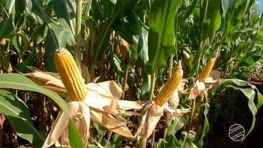 Compradores cautelosos e oferta em alta causam queda no preço do milho em MS - Famasul aponta desvalorização do cereal de aproximadamente 20% em um ano.