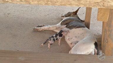 No Pantanal, cachorra adota e amamenta porquinhos - Veterinários acreditam que situação não representa risco para animais.