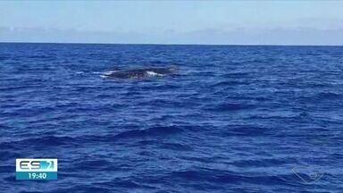 Baleias Jubarte chegam mais cedo ao ES e são avistadas por equipe de pesquisa - Segundo o coordenador do projeto Amigos da Jubarte e do Jubarte.Lab, é a primeira vez que as baleias aparecem no litoral capixaba em maio. Quatro foram vistas nesta segunda (13).
