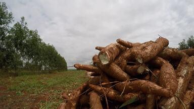 Assista ao bloco 01 do Caminhos do Campo do dia 19 de maio de 2019 - Preço da mandioca despenca e agricultor também se preocupa com queda da produtividade do solo