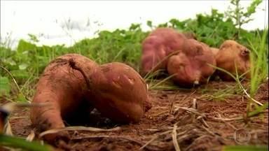 Por que a batata-doce fica gigante? - Um especialista explica o motivo de algumas raízes crescerem tanto.