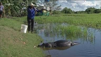 Conheça a encantadora de jacarés do Pantanal