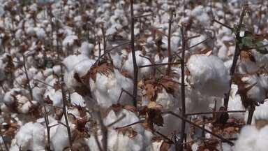 Safra de algodão deve ter aumento de 15% no oeste do estado, em comparação com 2018 - Região exporta o produto para países asiáticos e também comercializa no mercado interno.