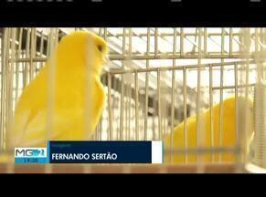 Exposição e competição de canários reune criadores em Ipatinga - Evento teve a sua vigésima terceira edição realizada.