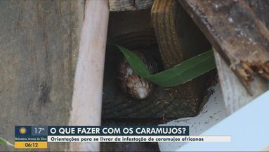 Controle de Zoonoses alerta sobre caramujos africanos em SC - Controle de Zoonoses alerta sobre caramujos africanos em SC