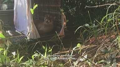 Onça-parda presa em armadilha é solta pela polícia em área de proteção ambiental - A Polícia Ambiental de Catanduva (SP) soltou na manhã deste domingo (9) a onça-parda adulta que foi pega em uma armadilha neste sábado (8) na região de mata em Catiguá (SP).
