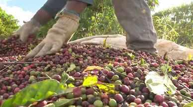 Colheita do café conilon já está quase no fim no ES - Nesse momento, os produtores conseguem ter a dimensão da produção.