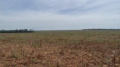 Fungo preocupa produtores de milho - Alta umidade provocou apodrecimento de algumas espigas, atingidas pela Diplodia.