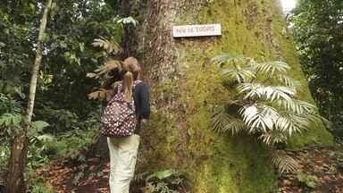 Parte 2: Na Floresta Nacional de Tefé tem tour por tour das árvores gigantes - Parte 2: Na Floresta Nacional de Tefé tem tour por tour das árvores gigantes