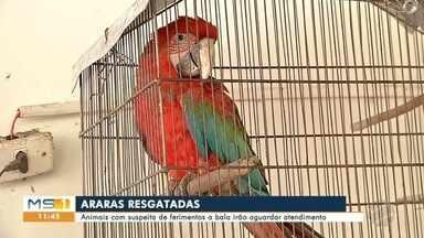 Duas araras são resgatas feridas em Corumbá - As aves estavam no bairro Aeroporto e serão enviadas para o CRAS da capital.