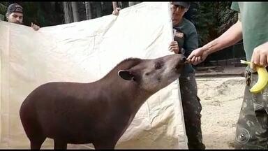 Casal de antas é levado do zoo de Sorocaba para reserva ambiental no RJ - Um casal de antas nascido no Zoológico de Sorocaba (SP) será transferido nesta quarta-feira (3) para uma reserva ambiental da Mata Atlântica, no Rio de Janeiro.
