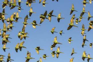 """Maritacas """"pintam"""" o céu em Limeira - Fotógrafo registrou revoada de centenas de maritacas em uma plantação de girassol."""
