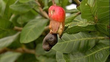 """Doença em plantações de caju faz com que frutos nasçam com rachaduras - A doença chamada """"oídio"""" é causada por um fungo."""