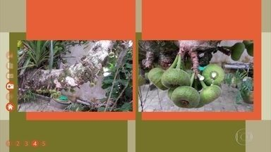 Figueira-de-jardim ou figueira-vermelha é uma planta nativa da Índia, Tailândia e Vietnã - No Brasil, essa planta é mais usada em paisagismo.