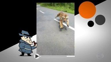 Detetive Virtual: vídeo de tigre perseguindo motoqueiro é verdadeiro ou falso? - As imagens mostram alguém filmando no celular um tranquilo passeio de moto pela estrada, quando, de repente, um tigre sai de trás de uma moita e quase pega o homem que estava em uma delas. Verdadeiro ou falso?