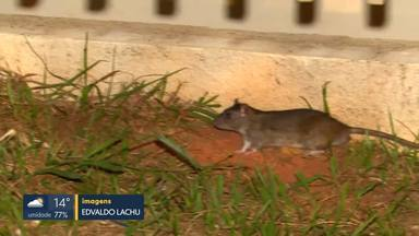 Flagrante: ratos circulam na porta do Hospital de Samambaia - Secretaria de Saúde respondeu que fez a desratização há menos de um mês e que vai pedir providências para a Administração de Samambaia resolver o problema do lado de fora do hospital.
