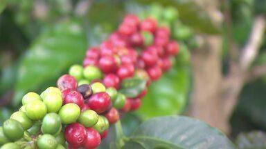 Café produzido na região da Serra do Brigadeiro é exportado para vários países - O clima frio ajuda na produção dos grãos especiais.