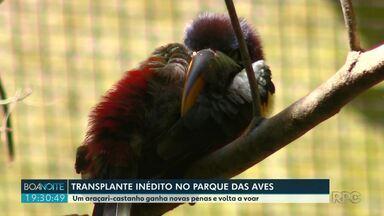 Parque das Aves fez transplante inédito em ave - Um araçari-castanho ganhou novas penas e voltou a voar.
