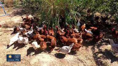 Produção de ovo caipira pode ter rentabilidade de 25% ao ano - Técnicos da Emater e do Sebrae dão os detalhes.