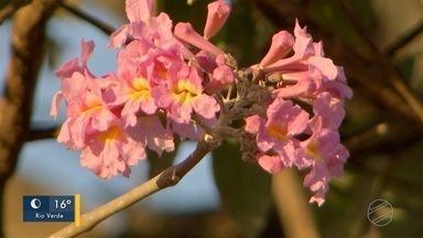 Florada dos ipês chega mais cedo em MS - Provavelmente, tem espécie que florescerá novamente.