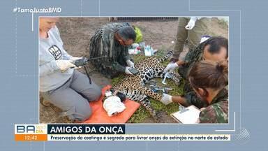 ONG resgata onça pintada que corre risco de extinção; animal foi devolvido à natureza - Ação faz parte de um programa de preservação da caatinga na região norte do estado.