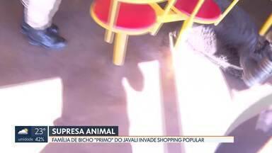 Parentes de javali invadem Shopping Popular - Polícia Ambiental acredita que trio estava atrás de comida. Vigia que viu bichos conduziu animais até o banheiro.
