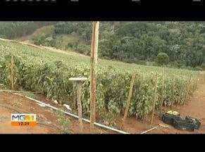 IBGE aponta queda na produção de tomates em Minas Gerais - Apesar da queda, produtores de Piedade de Caratinga vivem boa expectativa para vendas.