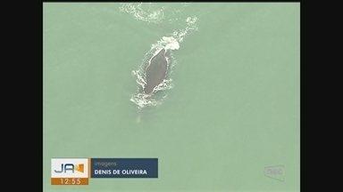 Quinze baleias-francas são avistadas durante monitoramento aéreo no Litoral de SC - Quinze baleias-francas são avistadas durante monitoramento aéreo no Litoral de SC