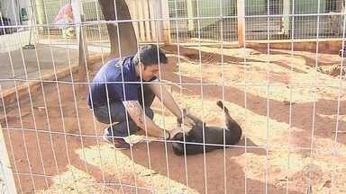 Voluntários da região ajudam a cuidar de animais abandonados - É muito triste encontrar um animal abandonado, com fome, doente. É uma cena que ninguém gosta de ver. Em Penápolis e em Araçatuba o pessoal está se mobilizando para ajudar de algum jeito. Iniciativas que estão dando uma nova chance para cachorrinhas como a Piti.
