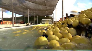 Acompanhe o desenvolvimento da fruticultura irrigada no Vale do São Francisco, na Bahia - A região produz uva, manga, melão e várias outras frutas, abastecendo o mercado nacional e internacional.