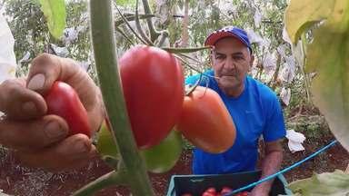 Técnica simples aumenta a qualidade do tomate e reduz custos de produção - Saiba como uma sacola de papel e um grampeador podem ajudar a produtividade do fruto