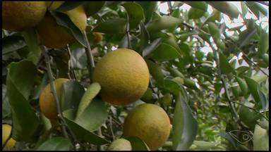 Agricultores de Jerônimo Monteiro percebem queda na produção da laranja, no ES - Situação acaba refletindo no preço da fruta.