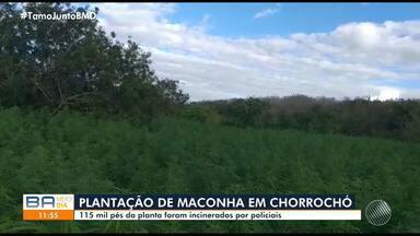 Polícia encontra mais de 115 mil pés de maconha em Chorrochó, no norte da Bahia - No local também foram encontrados cinco quilos de sementes e oito quilos da droga pronta para o consumo.