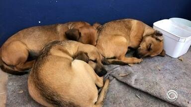 Filhotes de cães aguardam por adoção em Passo Fundo - Eles foram abandonados na BR 285 e resgatados pela Polícia Rodoviária Federal