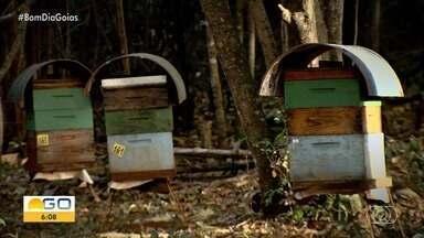 Confira os destaques do Jornal do Campo - Programa mostra receita de coxinha de mandioca, a festa da rapadura e o riso de desaparecimento das abelhas.