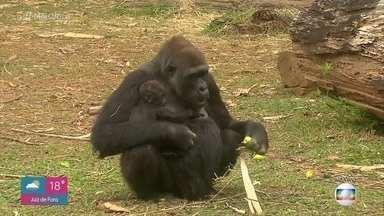 Zoológico de Belo Horizonte comemora nascimento de gorila fêmea - Animal nasceu no dia 8 de junho, mas só agora a mamãe gorila permitiu que a equipe do zoológico se aproximasse para descobrir o sexo