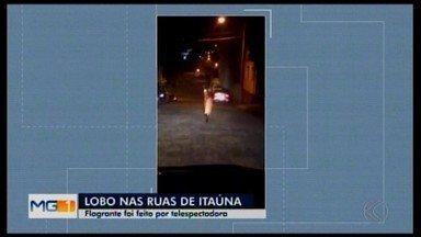 Moradora registra lobo-guará correndo pelas ruas de Itaúna - Animal esteve no Bairro das Graças na madrugada da última sexta-feira (16). Ele fugiu sentido Rio São João e não foi mais visto.